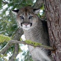 ODFW kills four cougars in La Pine, seeking a fifth