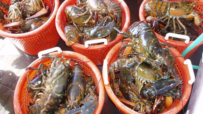 Both lobsters and scallops are affected by changes in water temperature, salinity, ocean currents, and other oceanographic conditions.