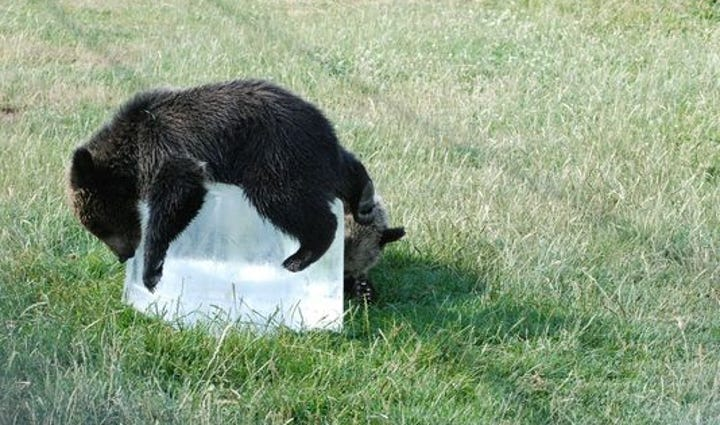Bear cub cooling down on a chunk of ice.