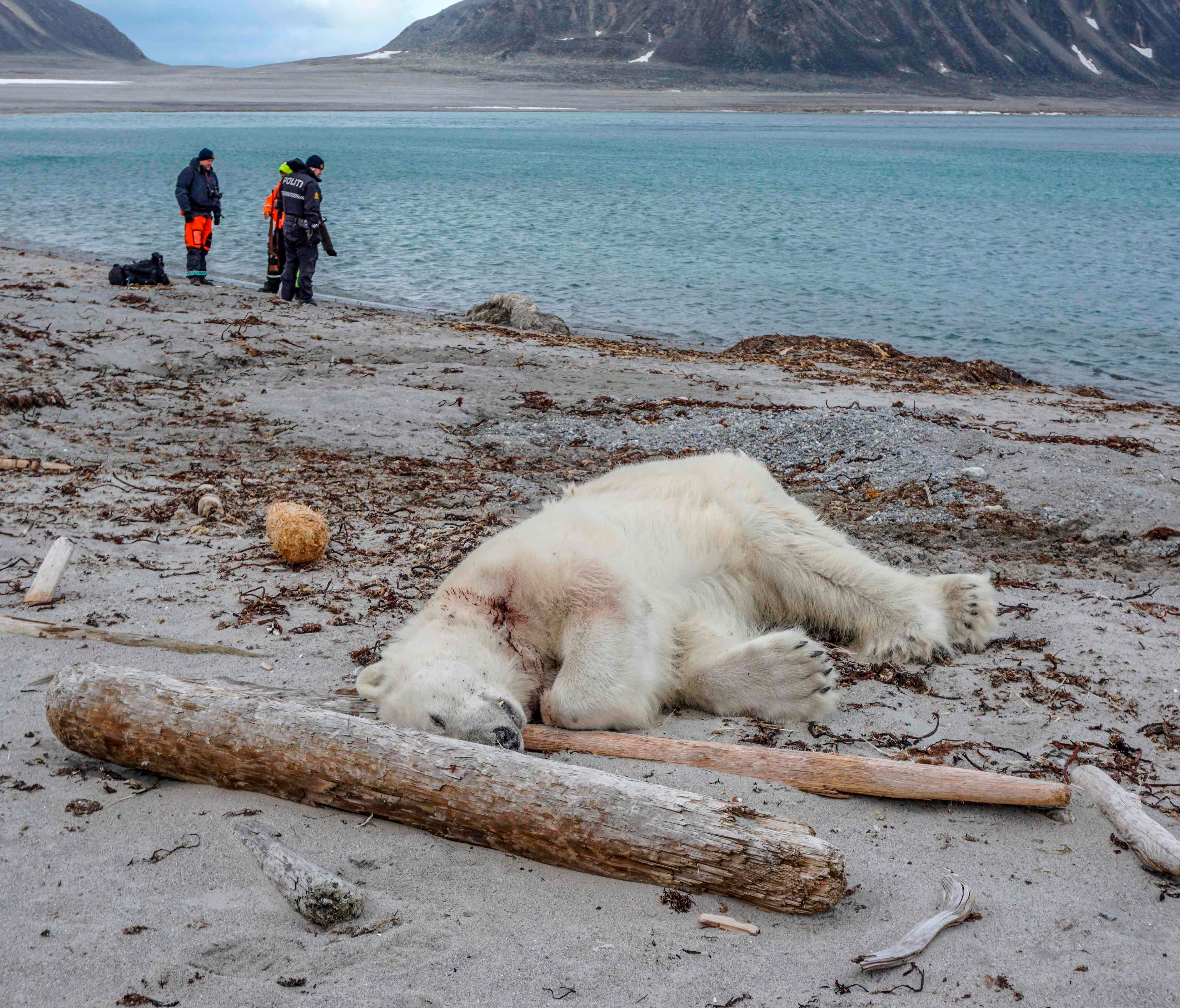 A dead polar bear lays at the beach at Sjuøyane north of Spitzbergen, Norway, on July 28, 2018.  Norwegian authorities said the polar bear attacked and injured a crew member of the