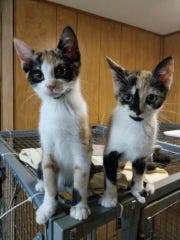 Wednesday and Zilla, 11 weeks old are up for adoption by the Friends of Randolph Animal Pound. They are both vetted and vaccinated.  For more information, call Claudine at 973-886-1485 or Doggie54@optonline.net.