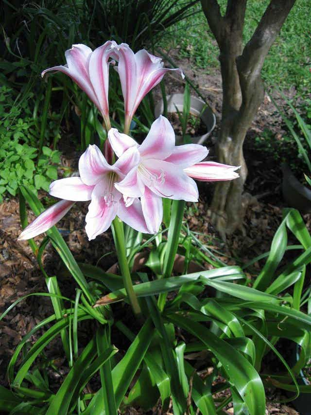 Lilies Of The Field Crinum An Overlooked But Hardy Bloom