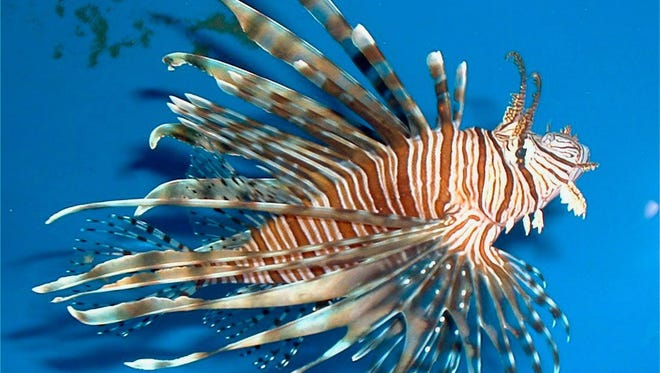Commercial fishermen will be experimenting with different types of deep-water traps for the invasive lionfish. Toxins in the dorsal spines do not affect the meat, which is exceptional eating and the fishermen hope to establish a profitable market with large catches.
