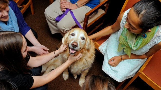 Hannah, a 9-year-old Golden Retriever, is petted by University of Buffalo students at the Health Sciences Library on Dec. 5, 2013.