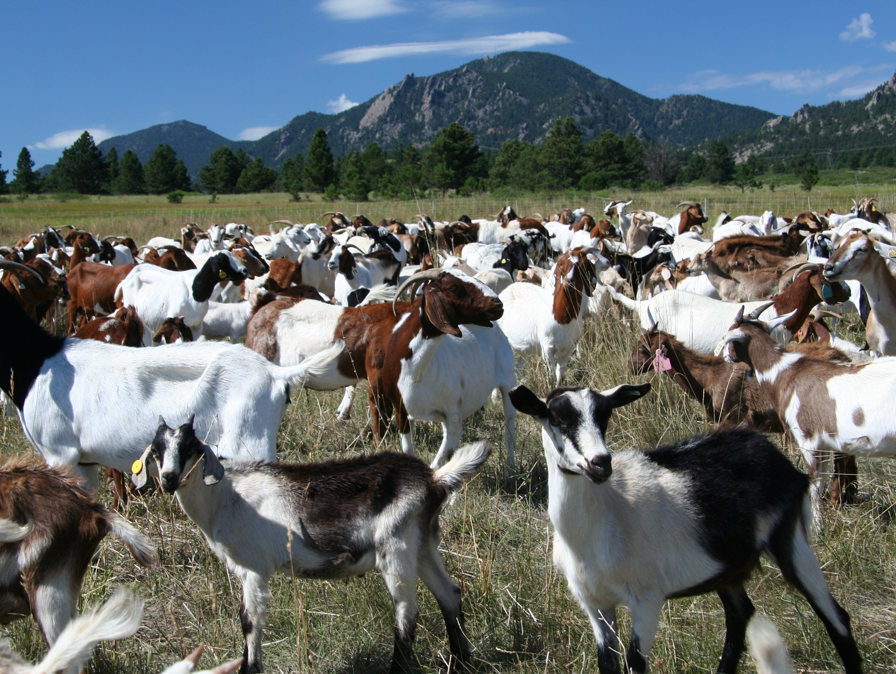 In Keenesburg, Colo., goats graze on an open field to reduce chicory.