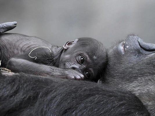 Baby Gorilla Brookfield