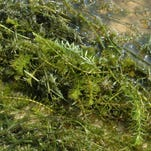 Hydrilla: The invasive aquatic plant, has been found in Cayuga Lake and the Erie Canal.
