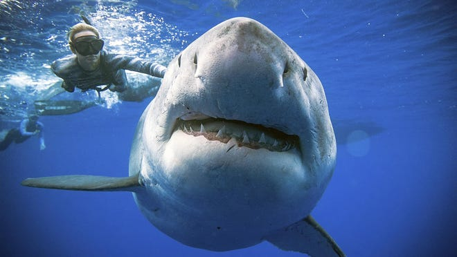 In this Jan. 15, 2019 photo provided by Juan Oliphant, Ocean Ramsey, a shark researcher and advocate, swims with a large great white shark off the shore of Oahu. Ramsey told The Associated Press on Jan. 17 that images of her swimming next to a huge great white shark prove that these top predators should be protected, not feared.