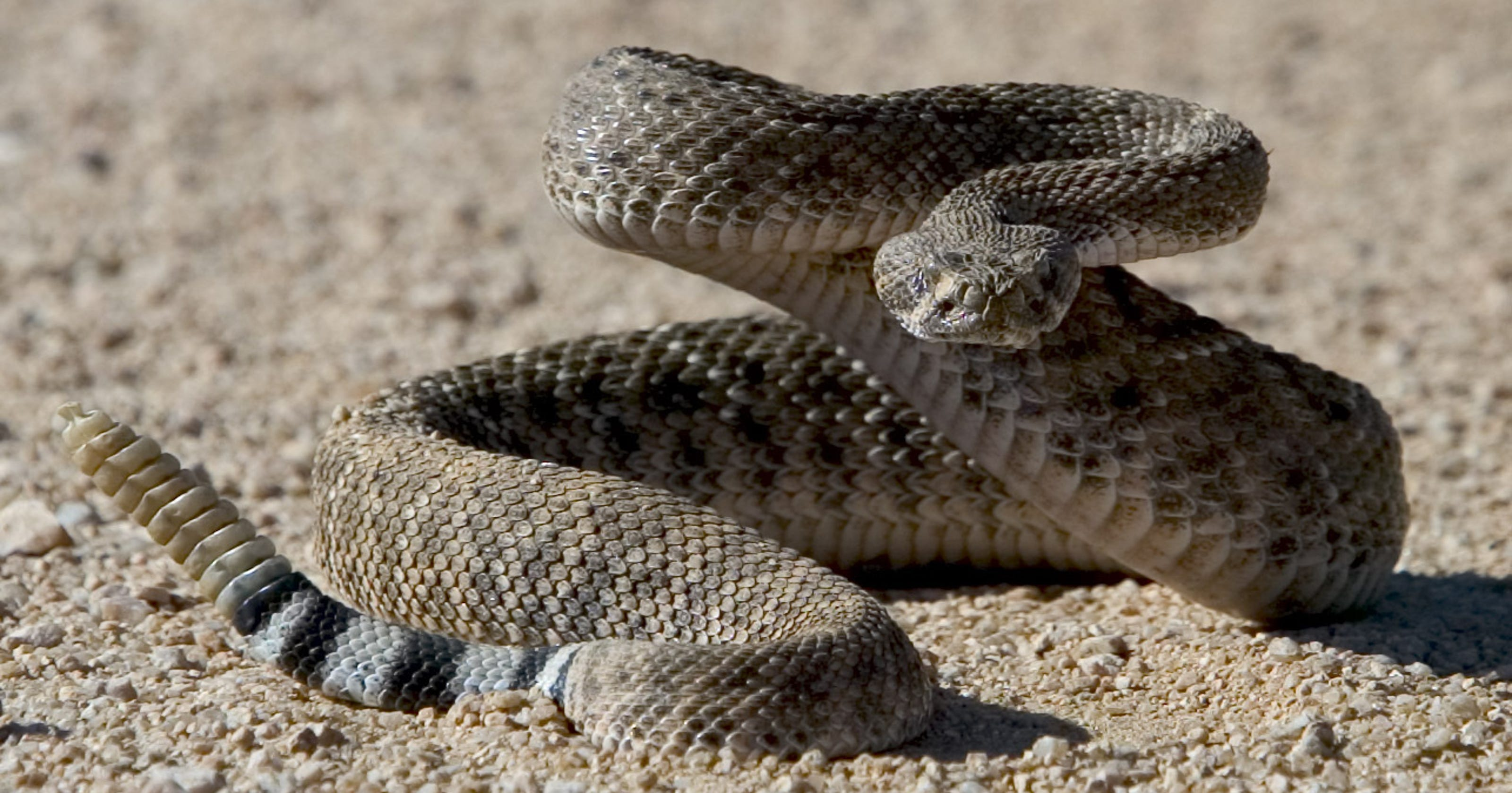 d747a35608a1 Rattlesnakes are waking up