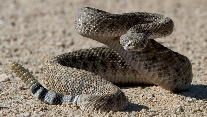 Western diamondback and other rattlesnakes are becoming more active now that temperatures are consistently in the 80s.