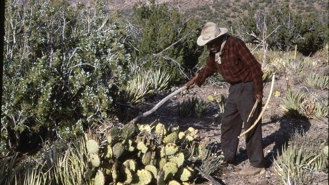 Among the juniper, agaves and prickly pear lie packrat nests.  Please credit Paul Long