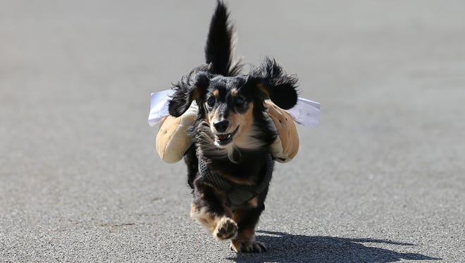 100 dachshund dogs raced in the 10th annual Running of the Wieners.