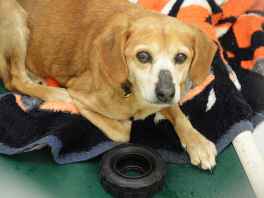 Midge, one of the dogs rescued from a hoarding situation, is available for adoption through the Vanderburgh Humane Society.