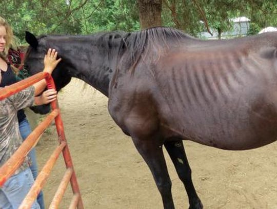 A horse rescued from the Pendleton County, Ky., farm