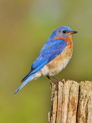 The eastern bluebird population declined significantly