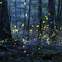Great Smoky Mountains National Park opens lottery, viewing dates for synchronous fireflies