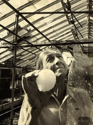 In this file photo, florist Frank  Richard holds a hailstone and examines the damage to his greenhouse following a 1979 storm in Fort Collins.