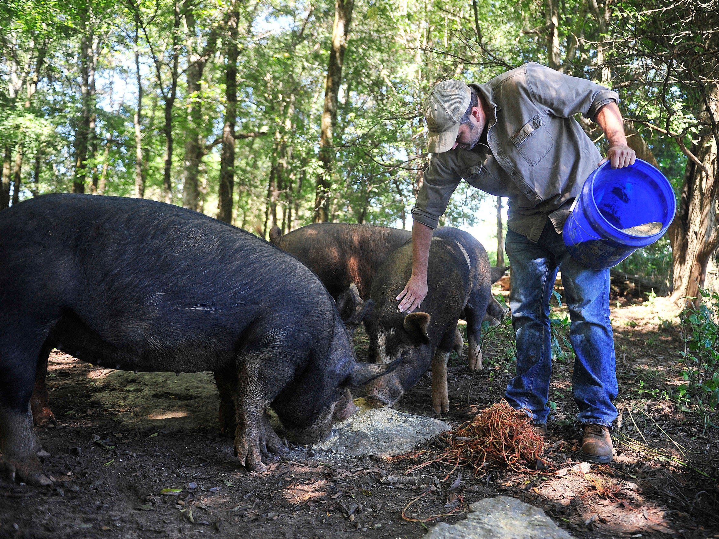 Adam Deal feeds his Burkshire pigs for his company Nashville Cattle Co. Farm in Shelbyville, Tenn.