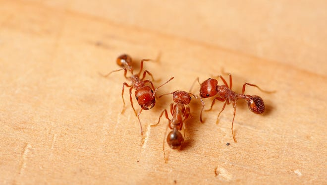 A macro shot of a group of red fire ants.