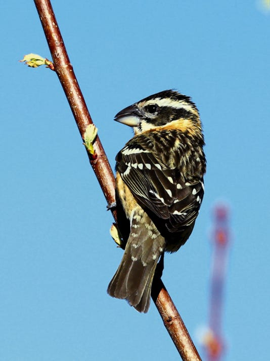 A black-headed grosbeak stopped by to rest on a tree near the Spencer Theater north of Ruidoso.
