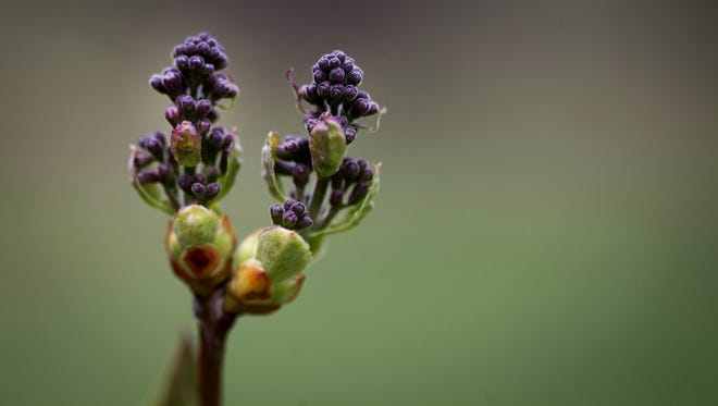 Tiny Ronsard lilac buds are forming in Highland Park.