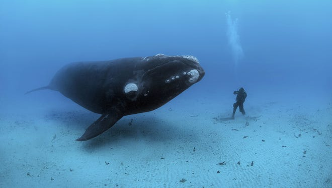 An adult Southern Right Whale, (Eubalaena australis) encounters a diver on the sandy sea bottom at a depth of 22-meters off the Auckland Islands, New Zealand (sub Antarctic islands).