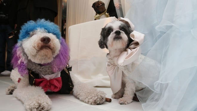 """Chilly Pasternak, a poodle from Richmond, Va., and Baby Hope Diamond, a Coton de Tulear from New York, sit together after their """"wedding."""""""