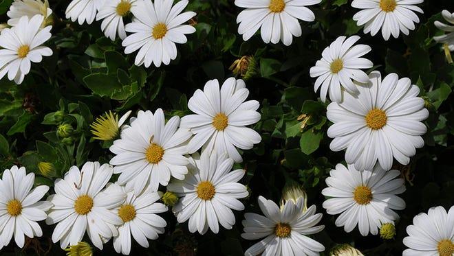 Osteospermum Akila Daisy White