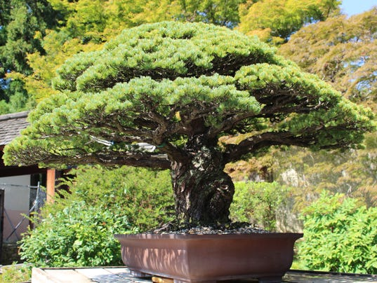 Bonzai Tree bonsai tree, nearly 400 years old, survived hiroshima and is still