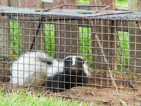 Young Skunk In Live Trap