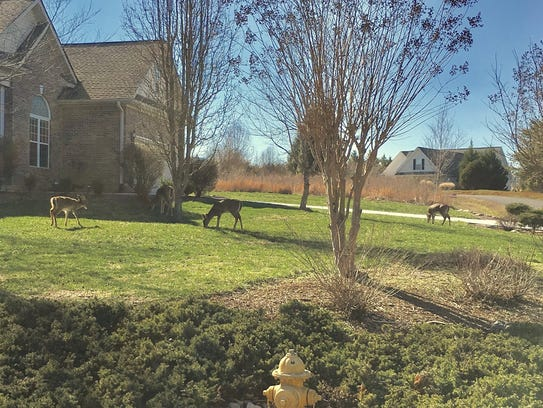 Deer graze in a yard in the Kahite community in Tellico
