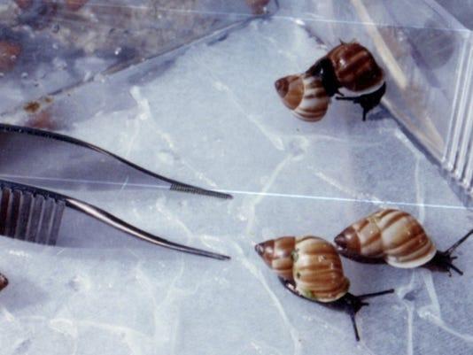 DFP Partula nodosa snails.jpg