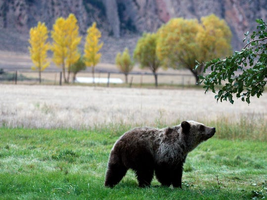 A grizzly bear cub searches for fallen fruit beneath an apple tree a few miles from the north entrance to Yellowstone National Park in Gardiner, Mont.