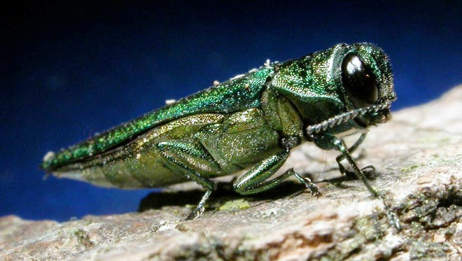 The emerald ash borer has damaged trees in Bay City State Recreation Area.  AP ** FILE **An adult emerald ash borer is shown in this photo released by Michigan State University. The pest dines on ash trees, and so far, it has killed or injured 20 million trees since 2002. Robin Pruisner, Iowa's state entomologist, says Michigan authorities have told her the bug has probably crossed Iowa's border. But investigators haven't found any in more than two years of checking. (AP Photo/Michigan State University, File)