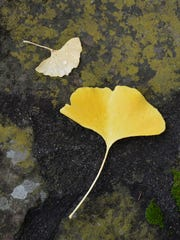Leaves of the ginkgo are fan-shaped and have a leathery