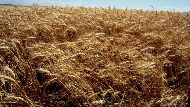 Some Eastern Oregon growers may not even harvest their wheat crop due to conditions this year.