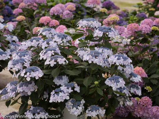Hydrangeas tend to do best out of the blaze of the full sun and not under trees, where they have to fight for water.