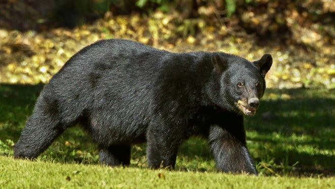A black bear is suspected of mauling a Mississippi woman's car last week.