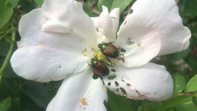 Small-sized landscape plants such as roses can be protected from Japanese beetles by using nylon insect screens or floating row cover from afternoon until late evening hours.