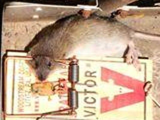 GCY rats