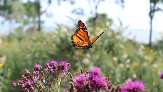 """Port Clinton is the second city in Ohio set to become a """"Monarch City USA,"""" pledging support for the struggling monarch butterfly population."""