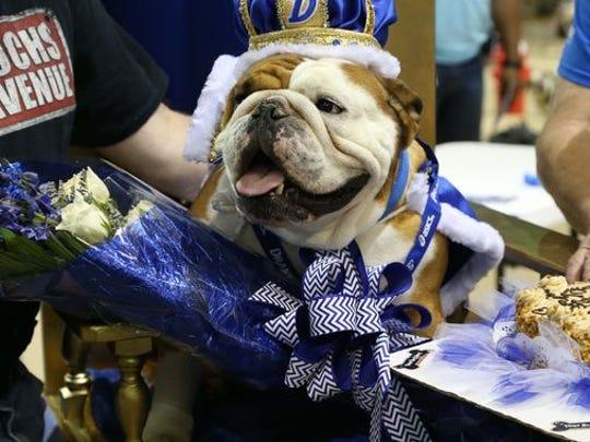 Tank, winner of the 2015 Drake Relays' most beautiful bulldog contest.
