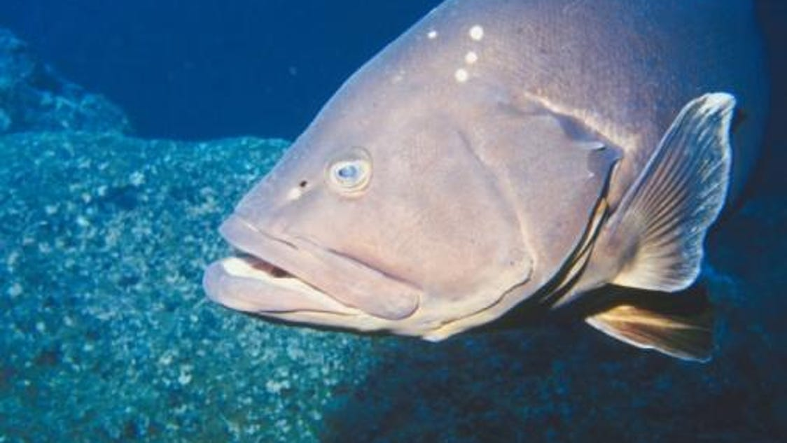 New grouper size limit approved for 2016 for Florida fish size limits