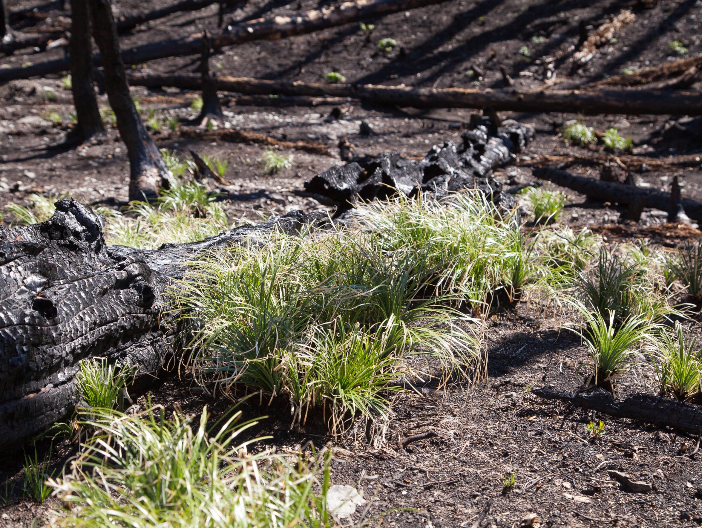 Bear grass grows from surviving underground buds in
