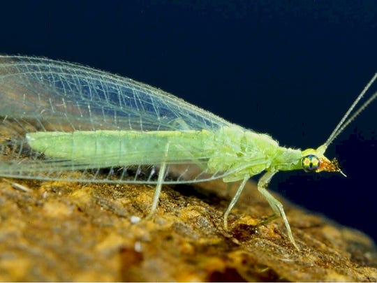 A green Lacewing can be predacious or feed on pollen.