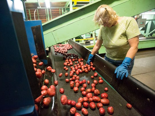 Elaine Newlun sorts through red potatoes at Okray Family