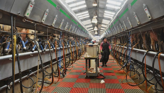 Cows are milked in the milking parlor at Del Rio Dairy near Friona in the Texas High Plains.