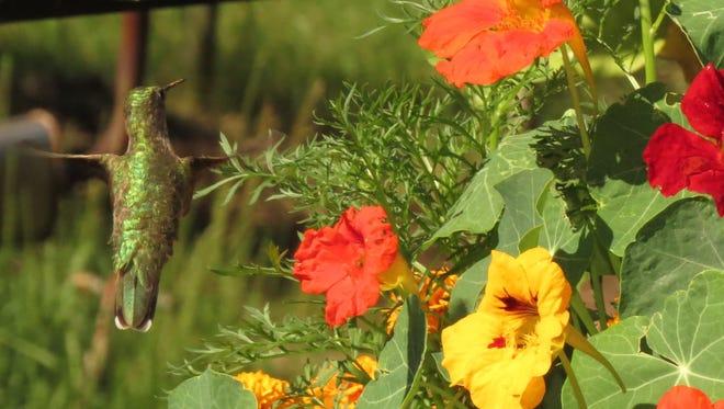 Hummer Hovering Nasturtiums