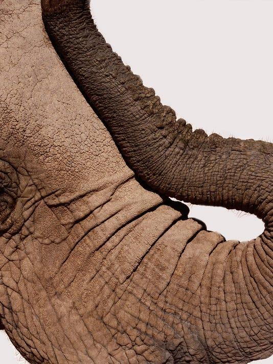 African elephant (Loxodonta africana), profile