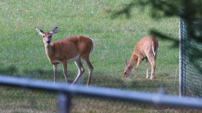 Fish & Wildlife wait to tranquilize a doe who has roamed the area with an arrow lodged in her face for at least nine months. Officials hope to help the deer by cutting the arrow shaft to a shorter length. Other deer wander through the area. Marlboro, NJ Friday, August 28, 2015 @dhoodhood
